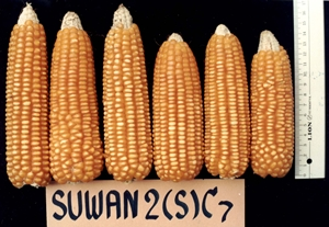 7.Suwan2(S)C7-Ear