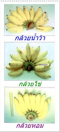 กล้วย1